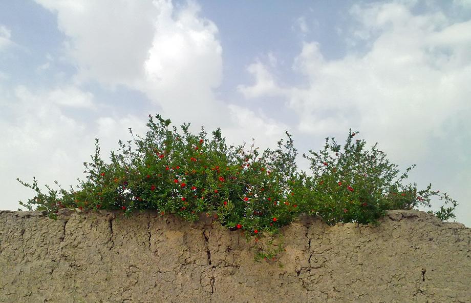 درخت انار روی دیوار کاه گلی